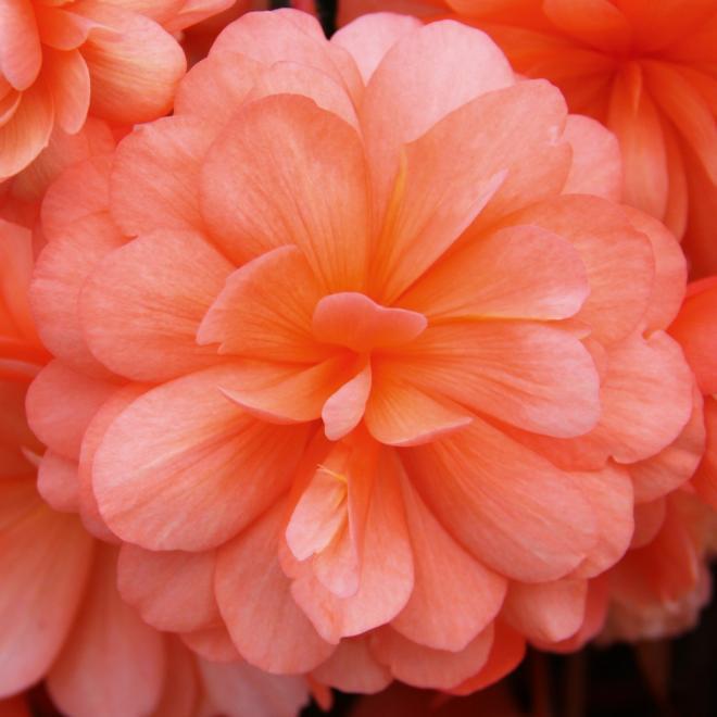 Begonia tubereux belina peach