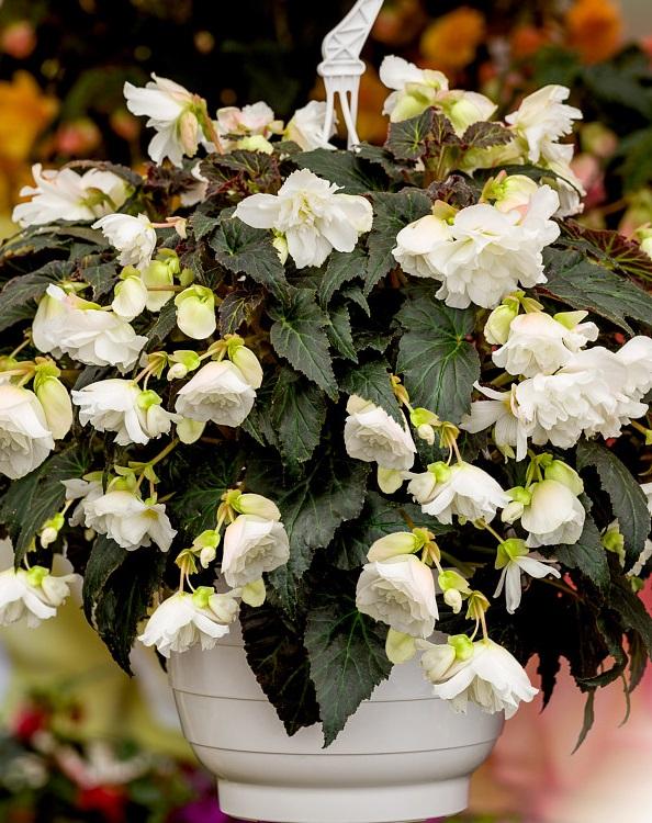 Begonia tuberhybrida f1 nonstop joy mocca white photo benary