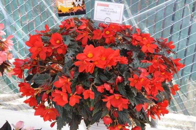 Begonia unbelievade red