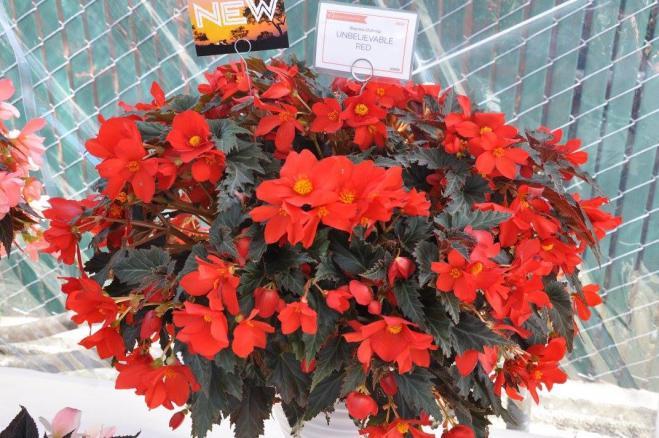Begonia unbelievade red