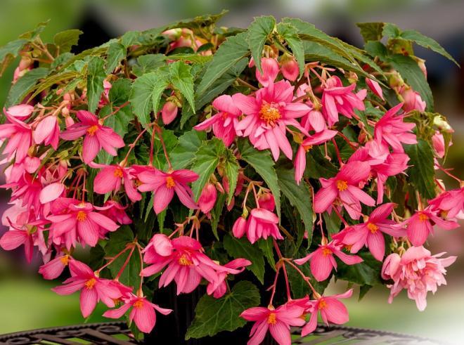 Begonia x hybrida f1 funky pink photo benary 2