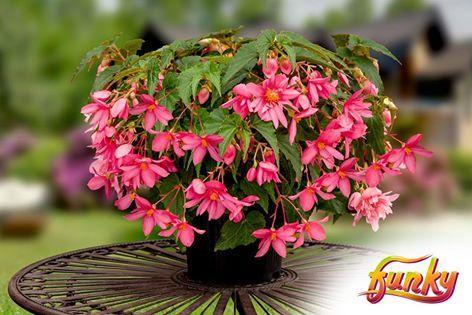 Begonia x hybrida f1 funky pink