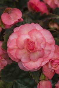 Begonia x tuberhybrida sweet english rose photo kerleyco 4 200x300