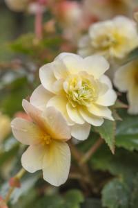 Begonia x tuberhybrida sweet spice citrus photo kerleyco 3 200x300
