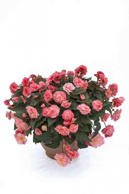 Begonia x tuberhybrida sweet spice english rose photo kerleyco 2