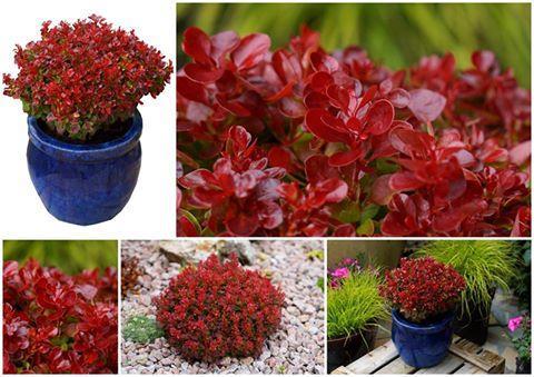 Berberis lutin rouge