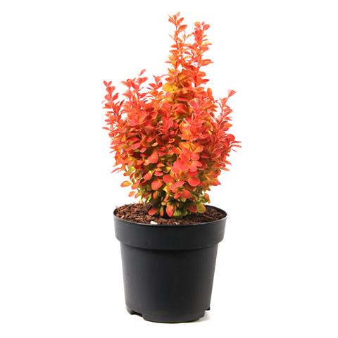 Berberis thumbergii orange ice