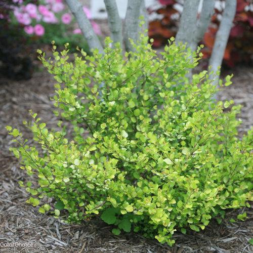 Betula golden treasure birch habit