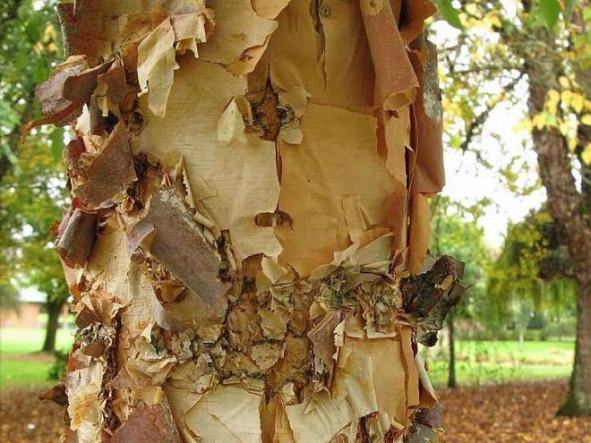 Betula nigra city slicker 2jpg