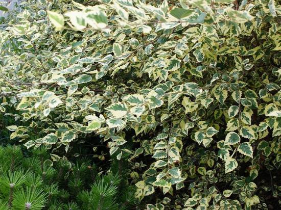 betula-nigra-shiloh-splash-2pg.jpg