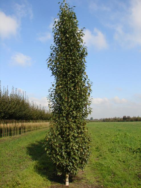 Betula pendula jolep1 fastigiata joes photo breederplants1