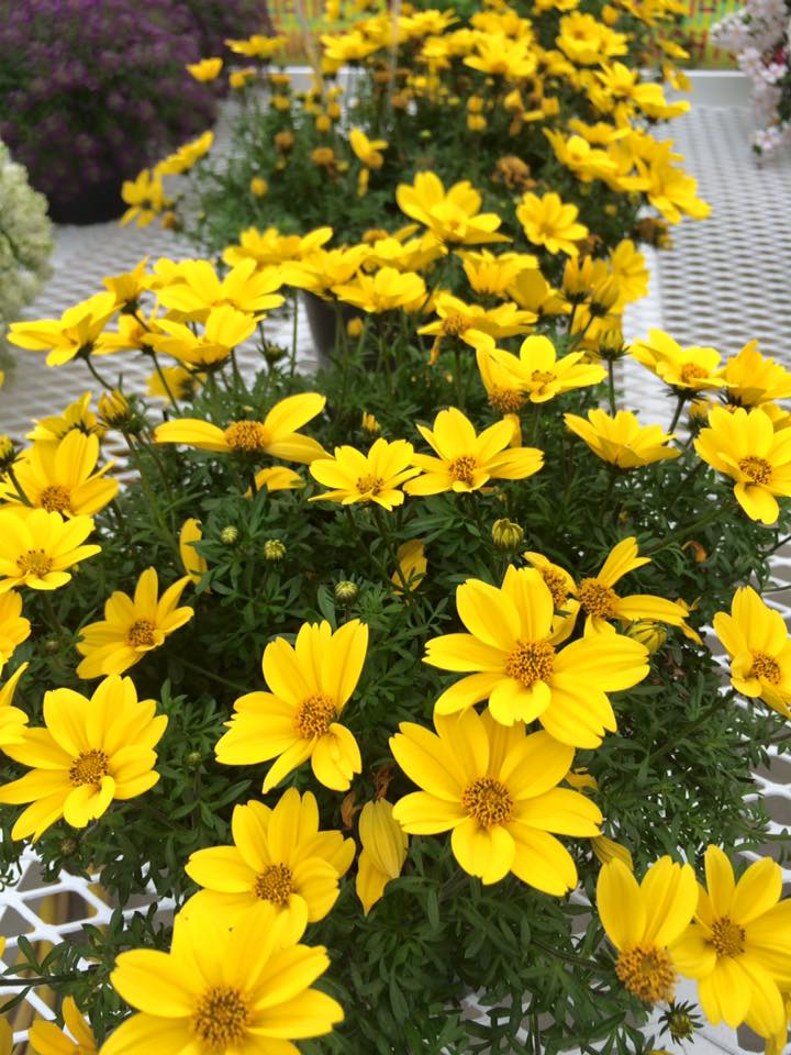 Bidens bee giant yellow 1