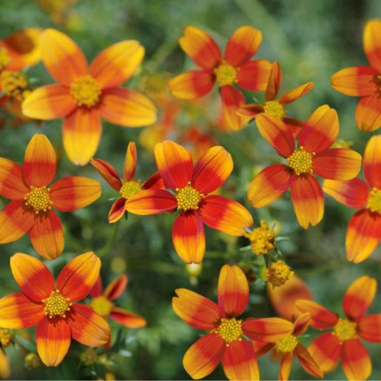 Bidens flare orange vif strie