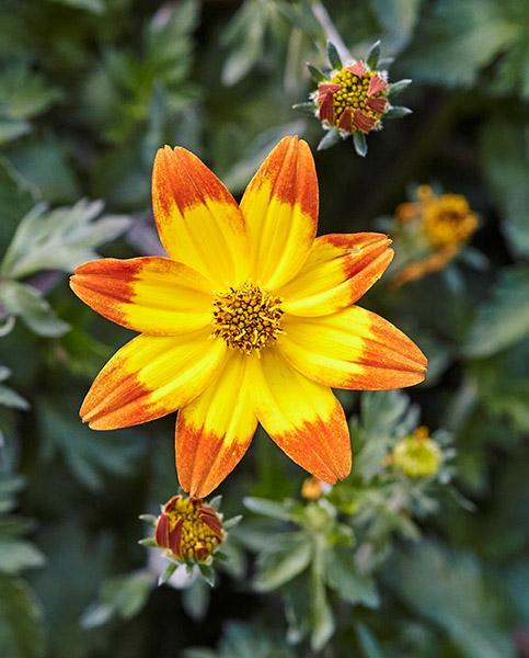 Bidens taka tuka orange yellow center