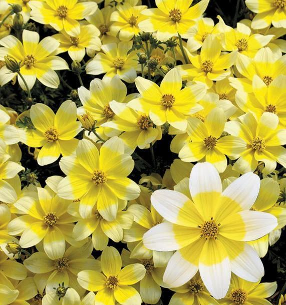 Bidens taka tuka white yellow