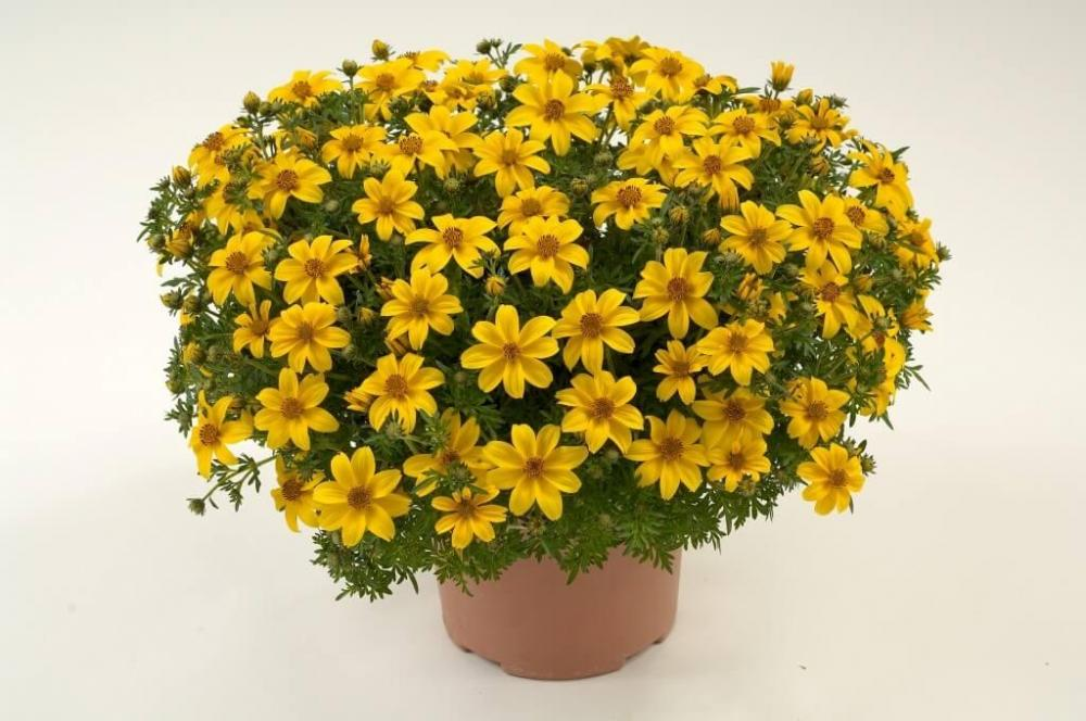 Bidens yellow charm timeless 1024x680