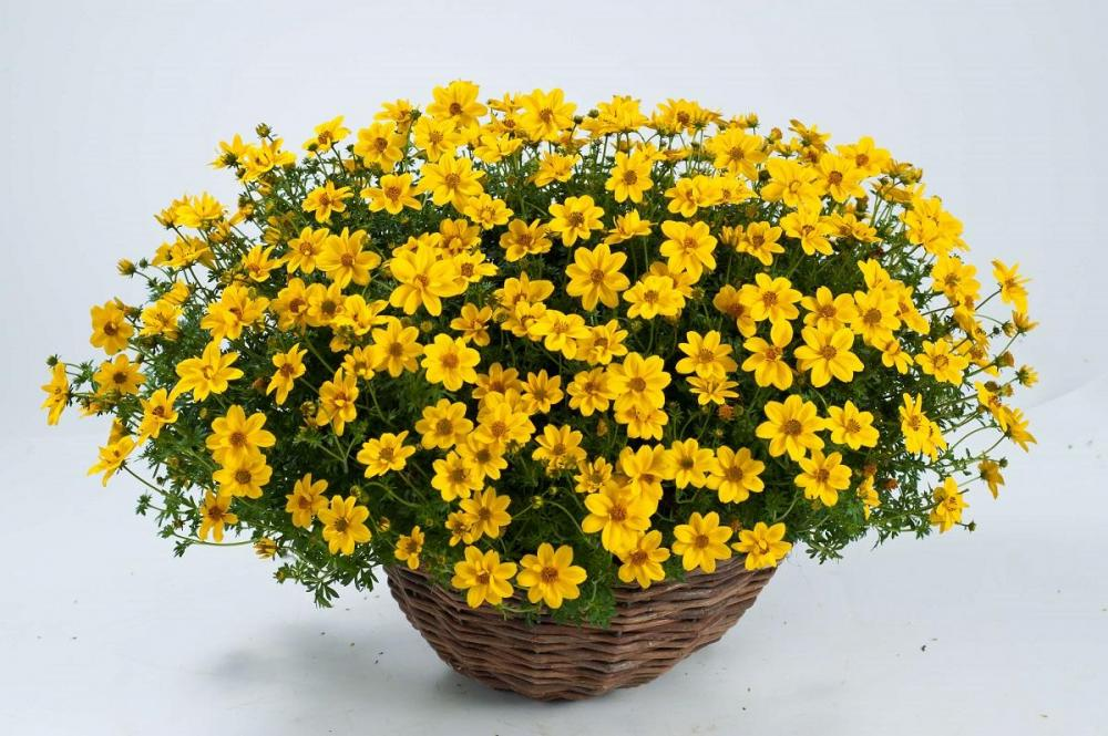 Bidens yellow sunshine timeless