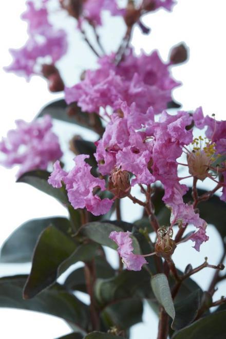 Black solitaire lavender lace