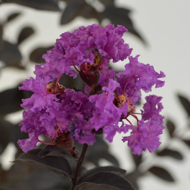 Black solitaire purely purple