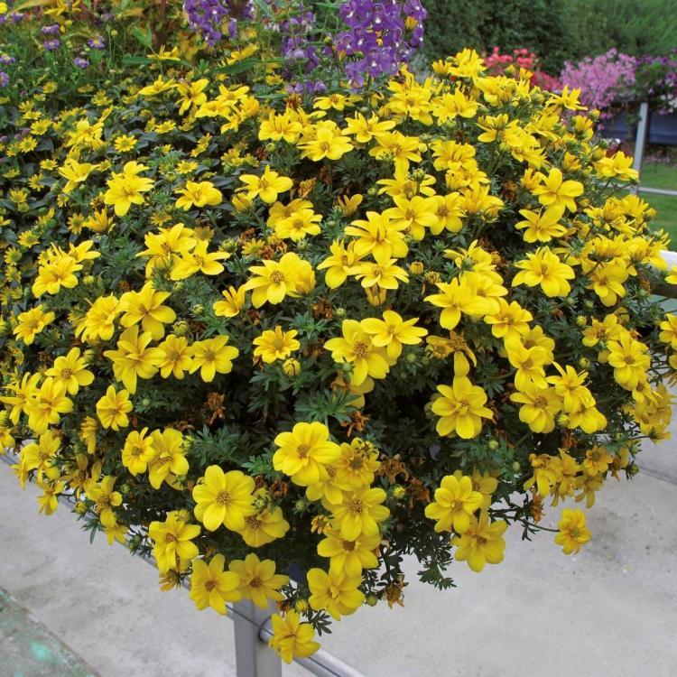 Blumen sternmarie takatuka portroyal volmary pflanzen