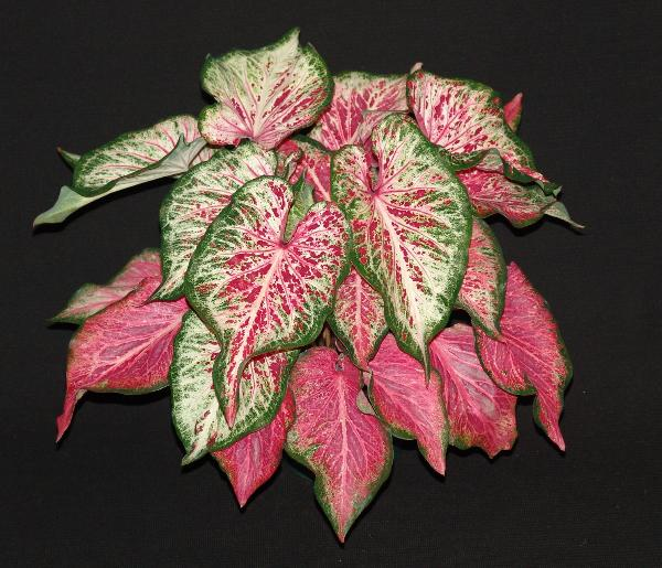 Blushing bride caladium 1