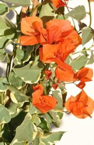Bougainvillea tango photo ets horticoles du cannebeth 2 195x300