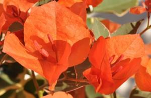 Bougainvillea tango photo ets horticoles du cannebeth 300x195