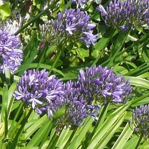 Bressingham blue