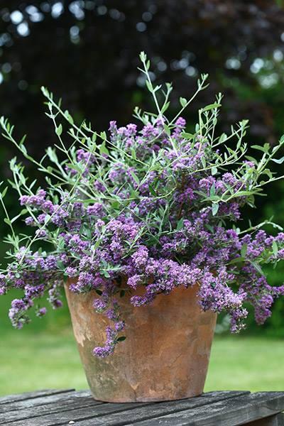 Buddleja alternifolia unique 2jpg