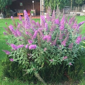 Buddleja daviddii flutterby pink jeunes plants de val de loire sv