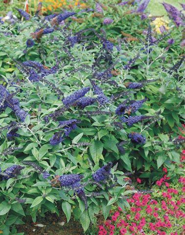 Buddleja pugster blue