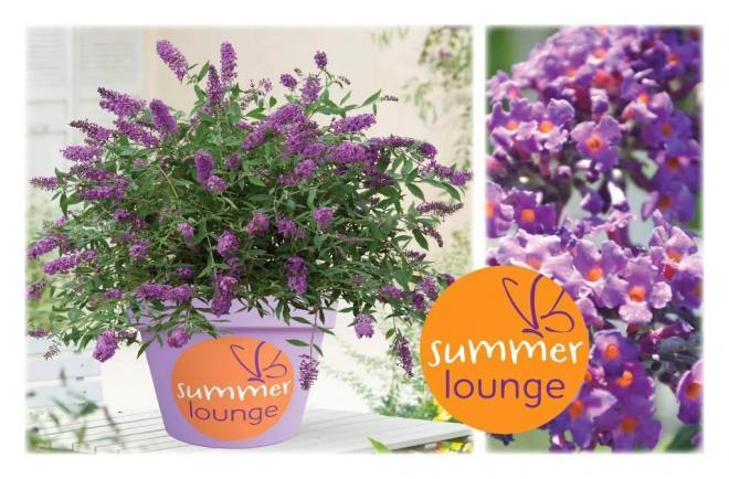 Buuleja summer lounge purple lion