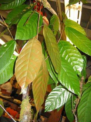 cacao-leaves.jpg