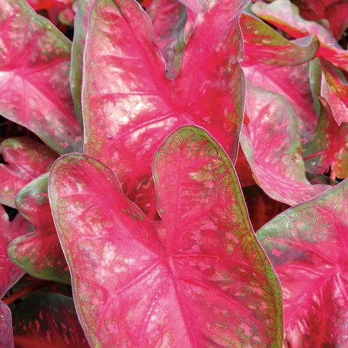 Caladium fast flash 1