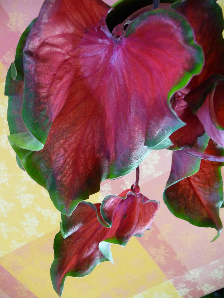 Caladium florida red ruffles2
