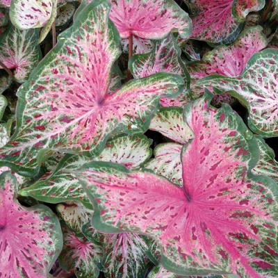 Caladium heart and soul
