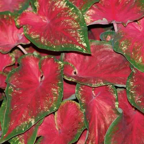 Caladium hearts delight 1
