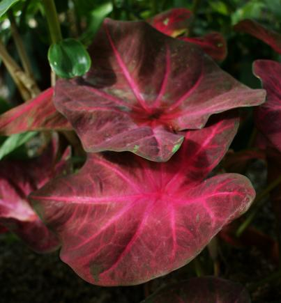 Caladium lucky purple