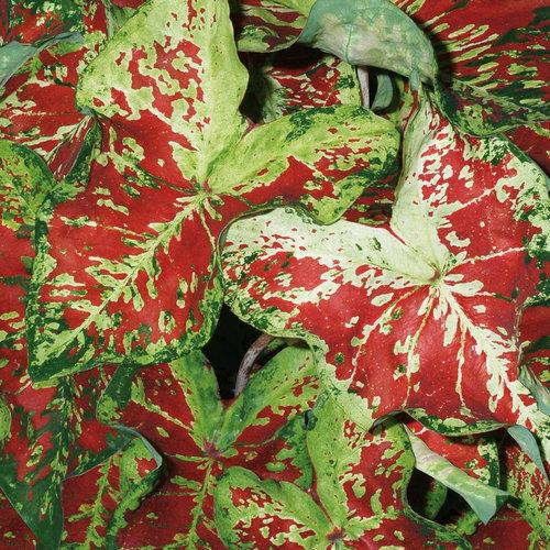 Caladium mesmerized 1