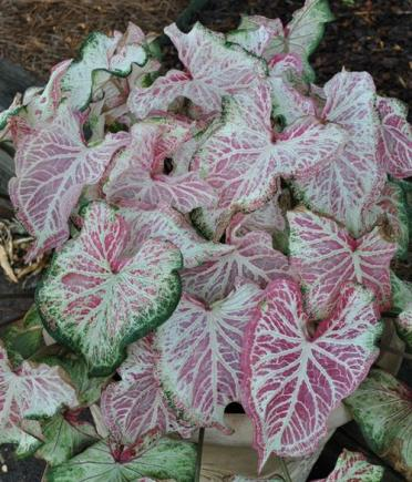 Caladium peppermint