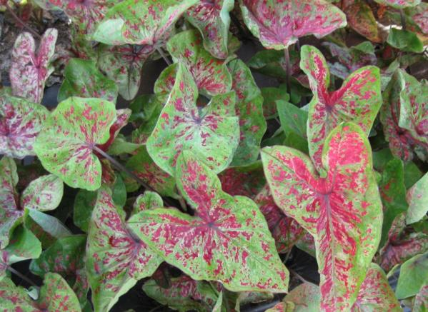 Caladium raspberry moon 800