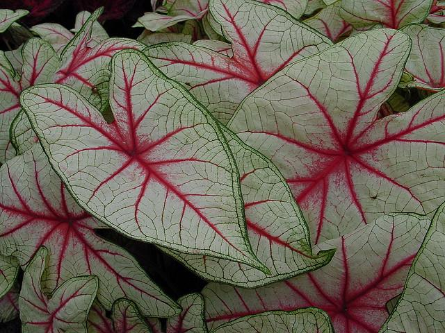 Caladium red white vein