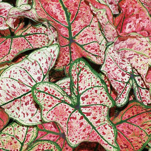 Caladium splash of wine