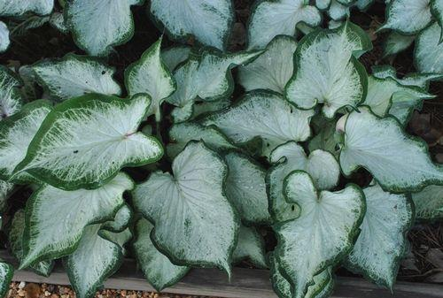 Caladium white dynasty