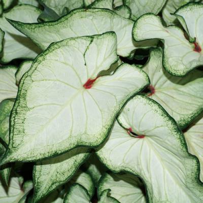 Caladium white wonder