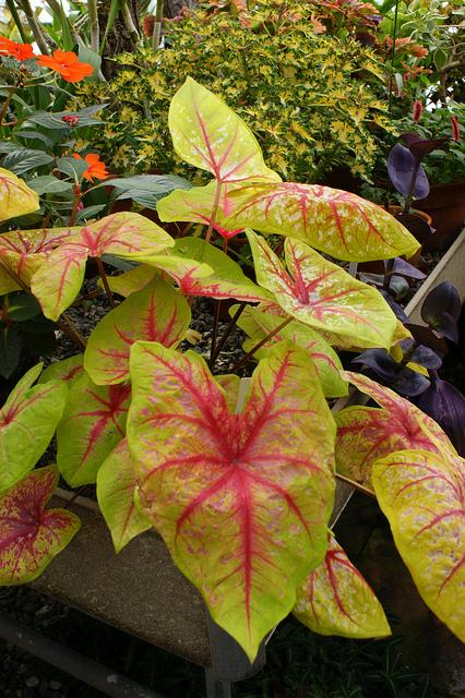 Caladium yellow blossom