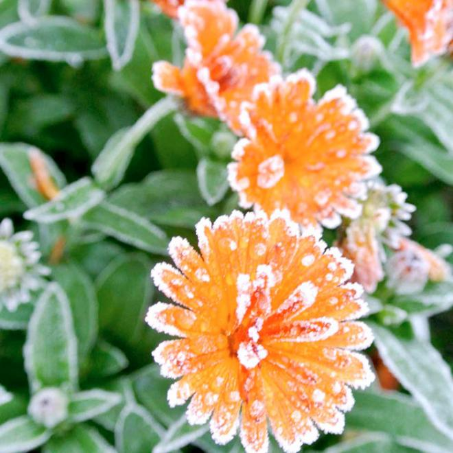 Calendula crespers orange ice