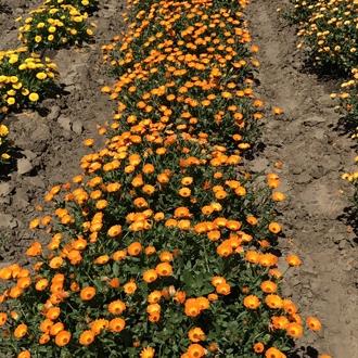 Calendula maritima caleo orange syngenta sv