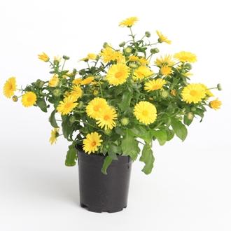 Calendula maritima caleo yellow 1 syngenta sv