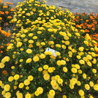 Calendula maritima caleo yellow syngenta sv